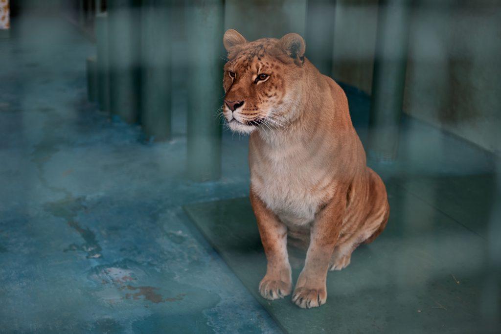 Eingesperrter Löwe
